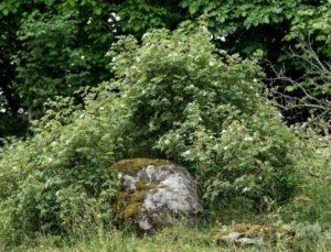 Vildrosor - Hans S